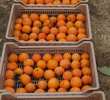 PERSIMMON-DAY <br> 2016