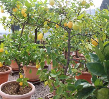 THE LEMON TREES MOVED FROM THE DRYING LOFT TO THE VILLA SPINOSA